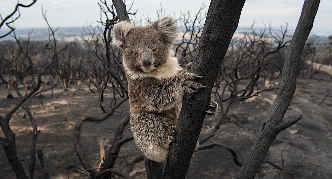 火災 コアラ オーストラリア
